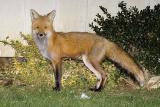 Female Fox 2