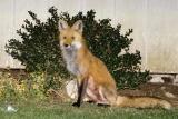 Female Fox 3
