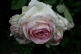 Eden....Pierre de Ronsard   A French Rose