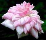 Pink Poodle ~ Miniature Rose