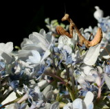 Hydrangea flower with my  new Praying Mantis...a young one