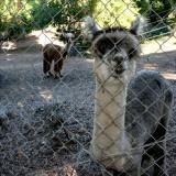 Alpacas and Maremma Dog