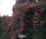 Candy Cane Climbing Rose