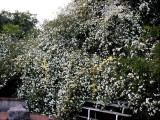 Banksia Roses
