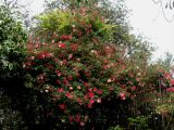 Mutabilis...a very large Rose...puts out hundreds of blooms, 3 different colors on the bush