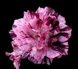 Purple Tiger  ~Rose~