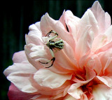 Crab Spider on Irene Watts Rose