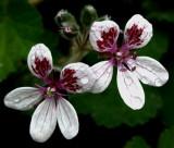 Erodium Pelargoniiflorum 'Sweetheart'