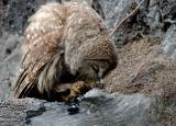 Owl Eating Crab