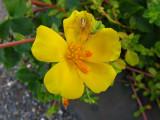 Verdolaga (Potulaca oleracea)