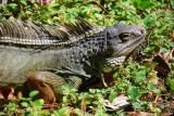 Green Iguana (Gallina de palo)