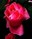 Pink rose transformation