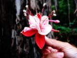 Fuchsias hybrida, Pendientes de la Reina o Zarzillos