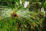 Spring morning dew