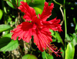 Amapola (Hibiscus rosanicensis)