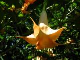 Cornucopia (Brugmansia x candida)