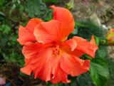 Amapola (Hibiscus)