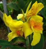 Maraca amarilla (Canna glauca)