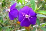 Tibuchina (Tibouchina granulosa)