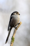 Long Tailed Tit, Barnwell Country Park, Oundle. UK.