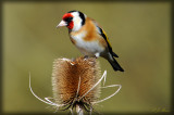 Gold Finch, Barnwell Country Park, Oundle. UK.