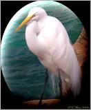 Egret, Seaworld Orlando
