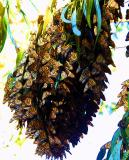 ex monarchs in tree mod .jpg