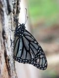 ex white monarch side mod.jpg