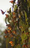 ex sunset monarchs mod.jpg