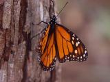ex orange wing monarch mod.jpg