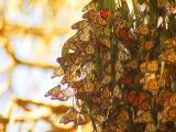 ex mass of monarchs in t mod.jpg