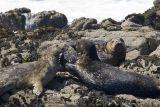 ex fighting seals on rock_MG_8481.jpg