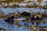 ex two sea otters kelp blue ocean white face_MG_8951.jpg