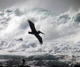 6 pelican in frot of waves seagull watching.jpg