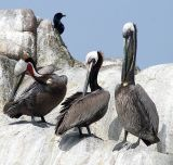 ex 3 pelicans one closed eye cleaning commorant.jpg