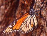 ex monarch side butterfly mod1.jpg