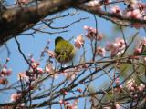 a wrong position(Japanese White-eye)