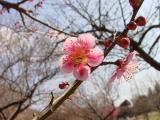 a plum flower