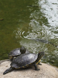 red-eared terrapins