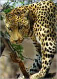 THE LEOPARD IS COMING,  NAMIBIA