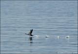 VANCOUVER ISLAND 2008 - BIRDS