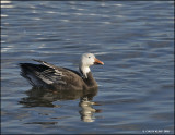 snowgeese2009