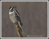 Northern Hawk Owl / Chouette épervière
