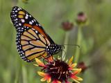Butterfly on Wildflower