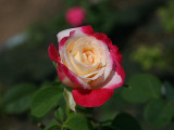 Peppermint Colored Rose