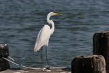 White Egret Overlooks the Bay