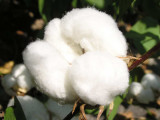 Cotton Plants in the Field