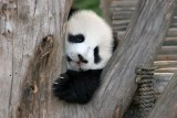 little_giant_panda