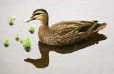 Anasaphilia, a love of ducks