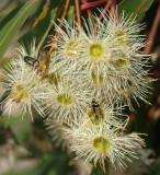Small beetles among gumblossom